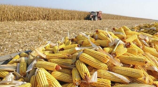 Colheita de milho em Mato Grosso do Sul (Foto: Divulgação)