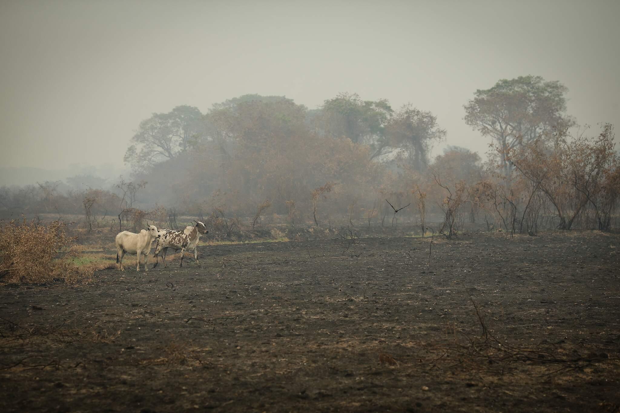 Bovinos em fazenda queimada nas proximidades da divida entre Mato Grosso e Mato Grosso do Sul (Foto: Dida Sampaio/Estadão Conteúdo)