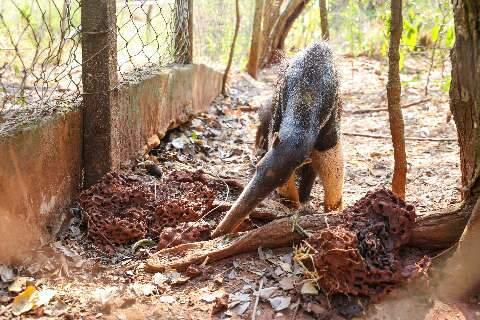 Vítima de atropelamento, tamanduá-bandeira se recupera no Cras
