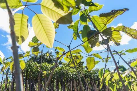 Para espalhar verde e frutos, mil mudas serão entregues no sistema drive thru