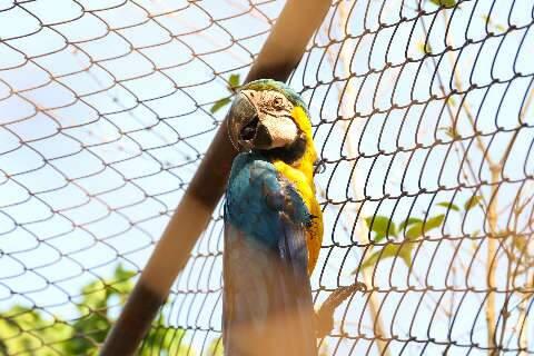 Araras vítimas do cerol nunca mais vão poder voar
