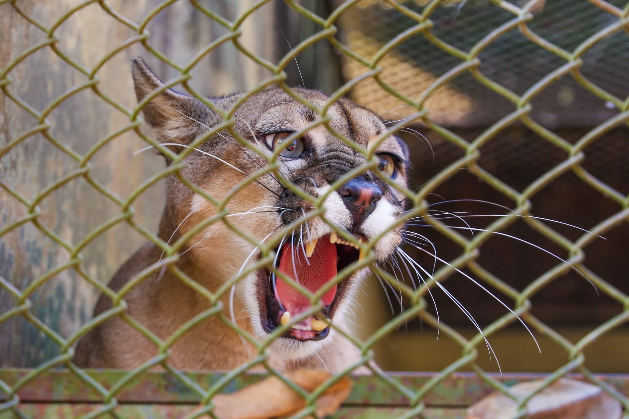 No Centro de Reabilitação de Animais Silvestres, em Campo Grande, vivem 7 onças pardas (Foto: Paulo Francis)