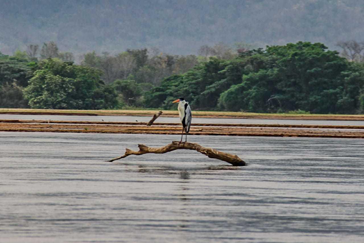 Ave sobre tronco no leito de um dos rios da região pantaneira. (Foto: Silas Lima)