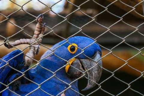 Com fogo no Pantanal, araras-azuis novamente correm risco de extinção