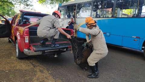 Depois de parar sob ônibus, capivara é resgatada no centro de Dourados