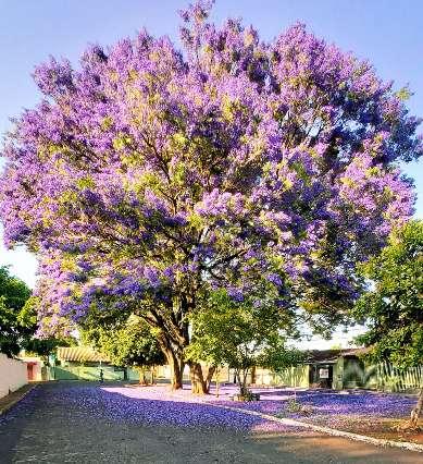 Há 15 anos no Lar do Trabalhador, morador diz que nunca viu florada tão linda
