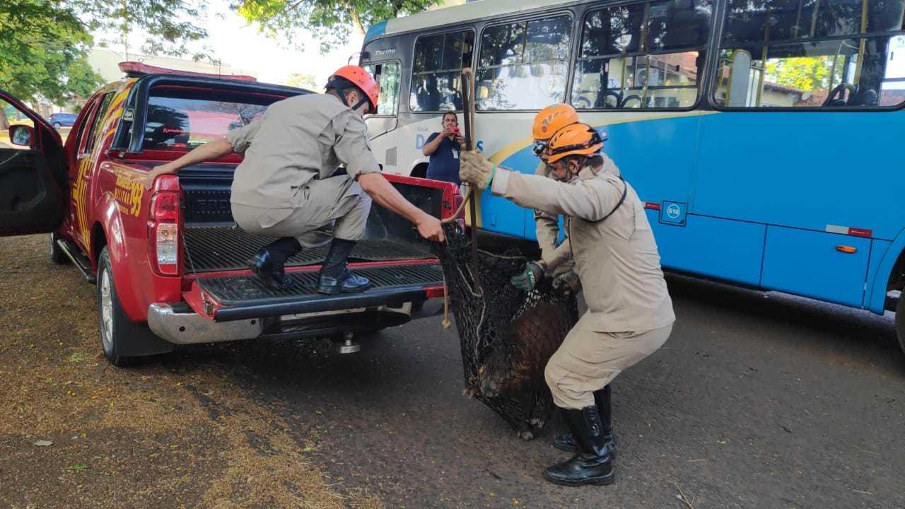 Foram necessários três militares para realizar a captura da capivara. Foto: (Adilson Domingos)