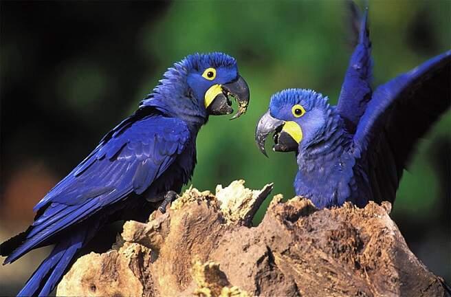 Exuberância da espécie é nítida; os animais foram tirados da lista dos ameaçados de extinção em dezembro de 2014. (Foto: Instituto Arara Azul)