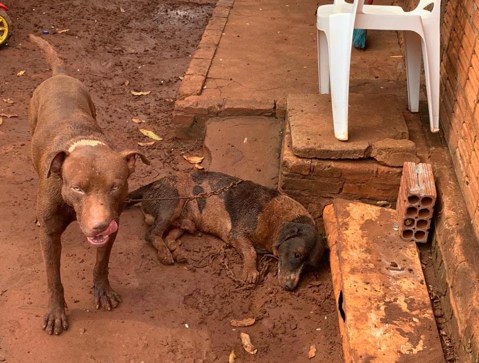Pitbull matou outra animal e dono foi autuado por omissão de cautela (Foto: divulgação/PMA)