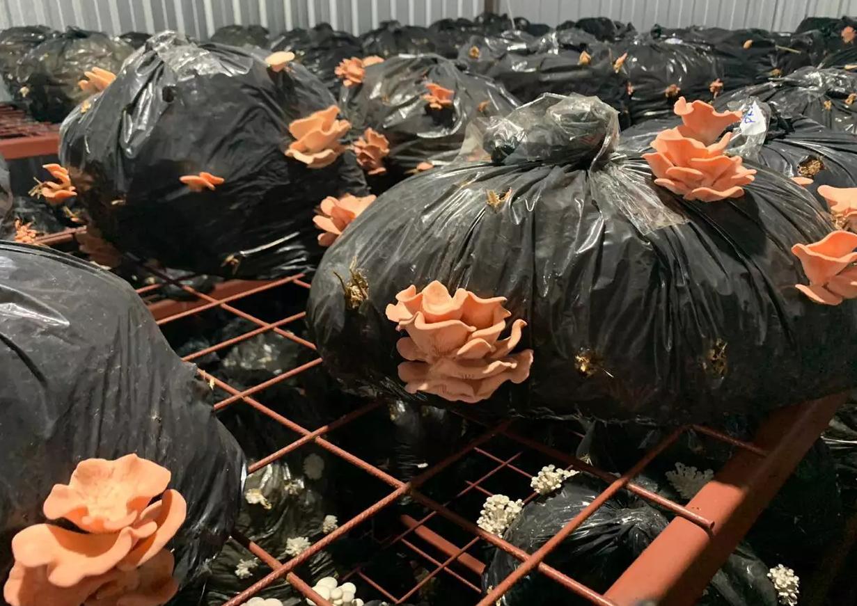 Nas estufas, os cogumelos brotam de dentro dos insumos (Foto: Arquivo Pessoal)