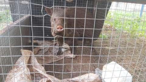Mulher é multada por criar porco do mato ilegalmente em sua residência