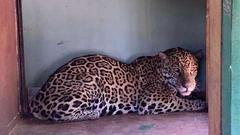 Onça resgatada com queimaduras no Pantanal acorda, mas segue em observação