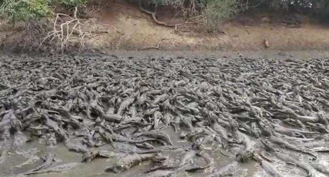 """""""Mar"""" de jacarés e gado berrando de fome impressionam em fazenda do Pantanal"""