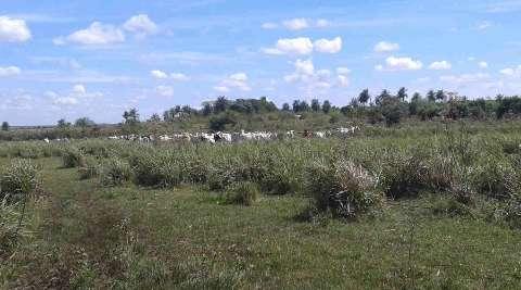 Agricultor será idenizado após gado de vizinha destruir plantação de milho