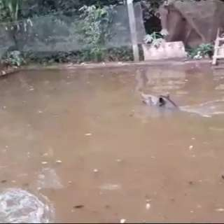Anta de 180 kg é resgatada após cair em tanque de criação de peixes