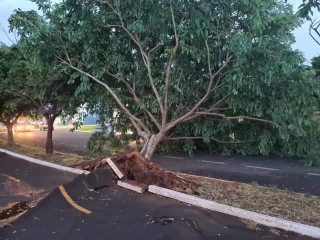 Árvore cai, arranca asfalto e complica trânsito em rua ao lado do Parque Sóter