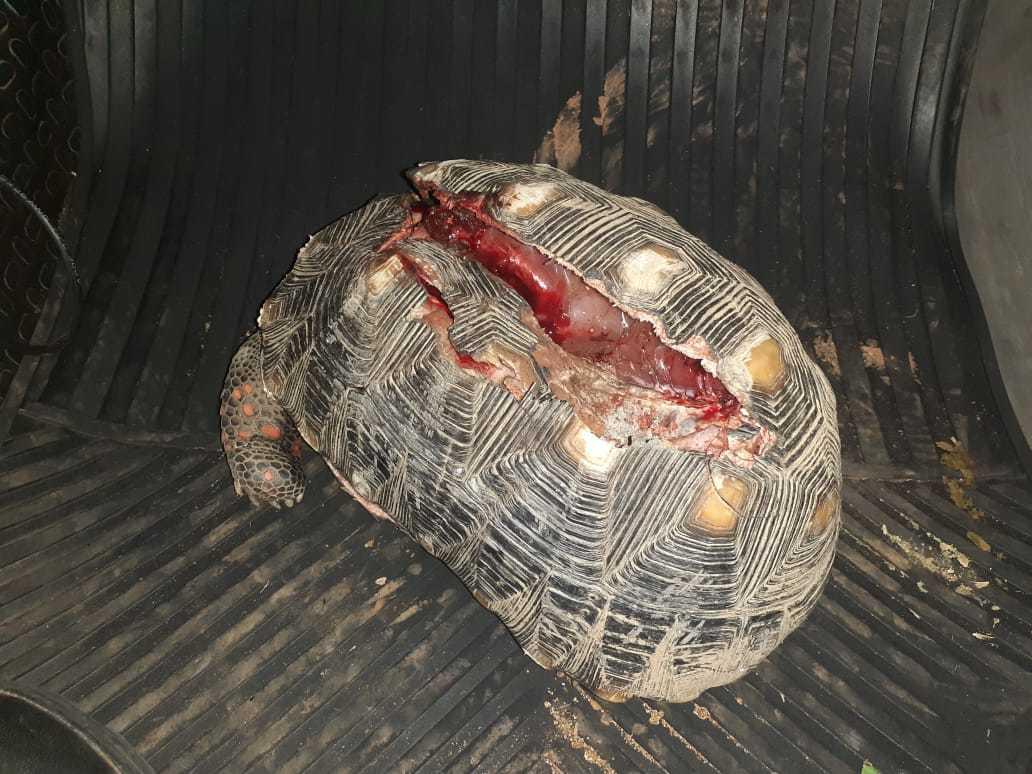 Jabuti foi resgatado com casco dilacerado. (Foto: Divulgação/PMA)