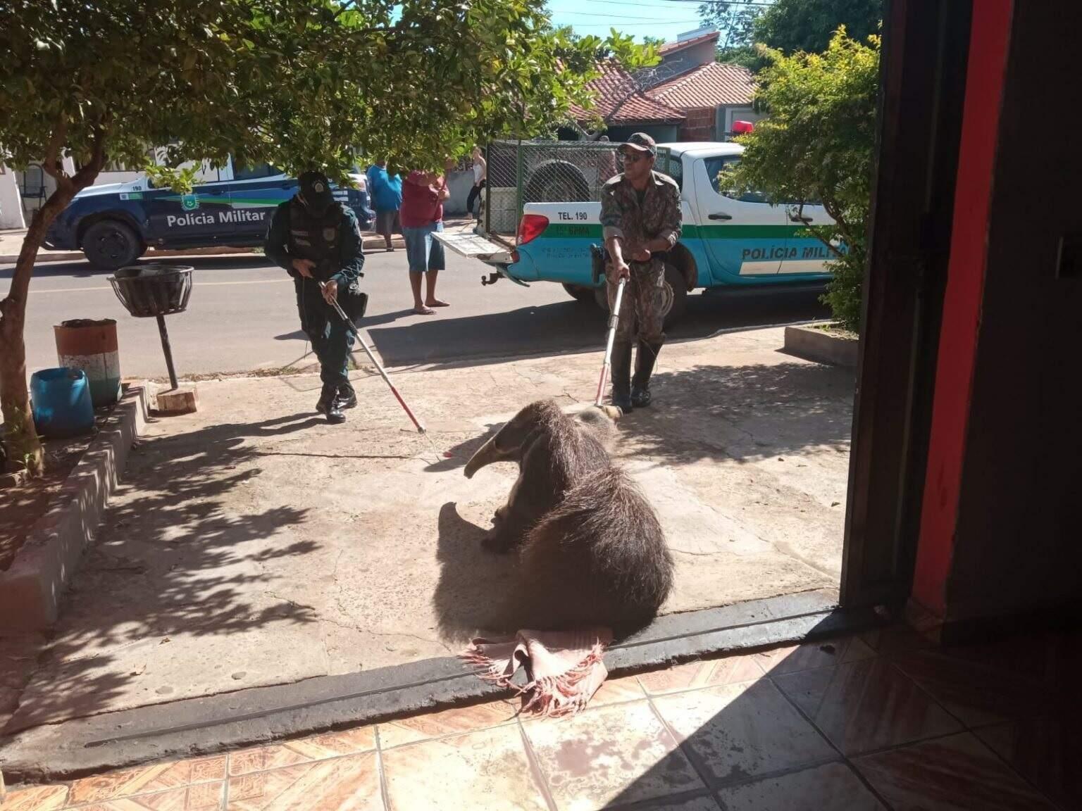 O animal foi capturado com auxílio de cambões. (Foto: PMA)