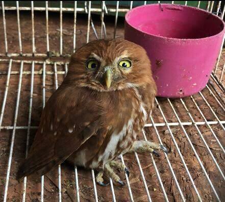 Filhote de coruja foi encontrada em agosto (Foto/Divulgação)