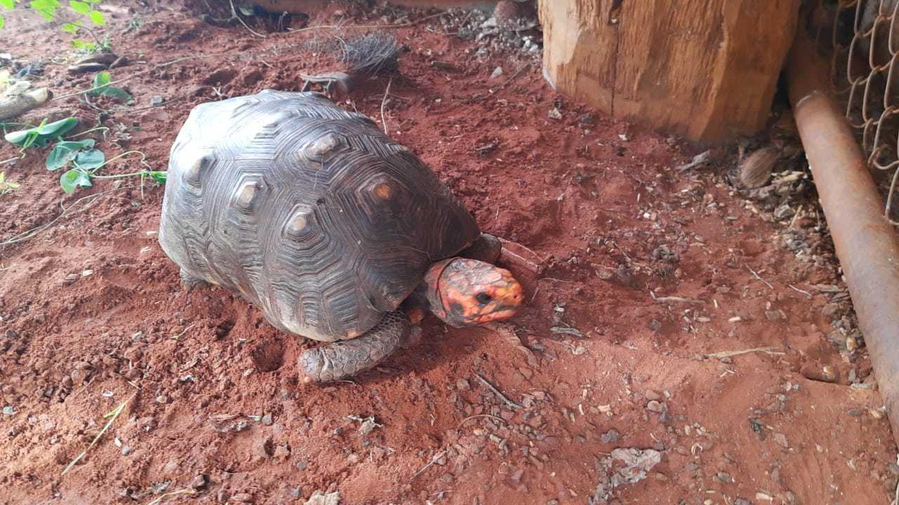 Jabuti estava no quintal da casa do homem. (Foto: Polícia Militar Ambiental)