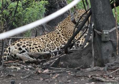 Recuperada, onça-pintada solta no Pantanal já atravessou o Rio Paraguai a nado