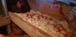 Campo Grande pode ganhar 1ª indústria de ovos orgânicos em pó do Brasil