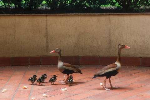 """Família de patos """"visita"""" hotel e surpreende funcionários"""