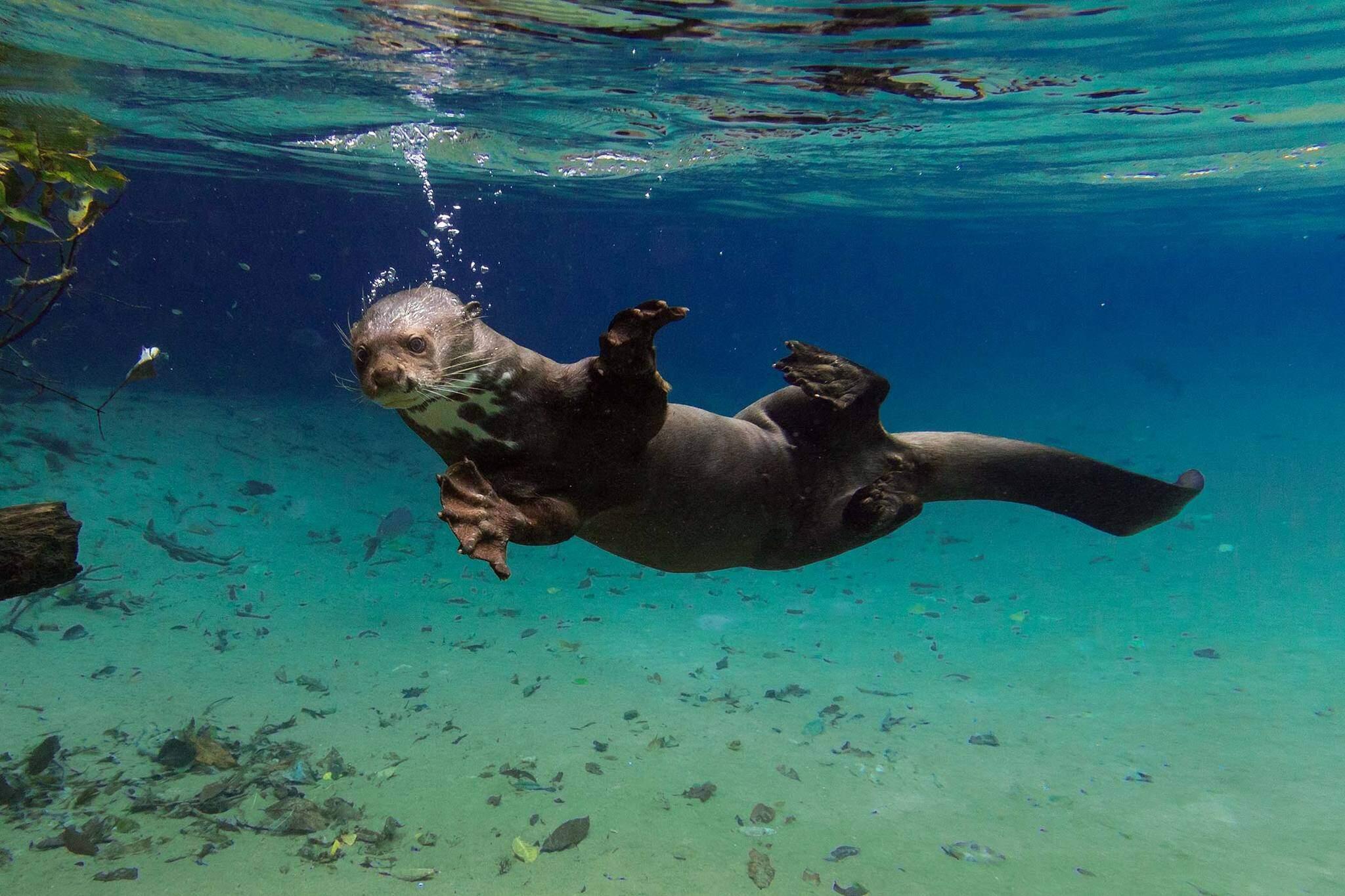 O mergulho da ariranha, imagem que valeu o primeiro lugar em concurso nacional de 2015 (Foto: Daniel De Granville)