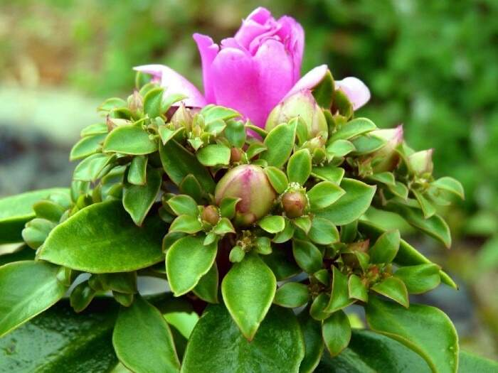 """A planta, que também é conhecida como """"bife de pobre"""", é um alimento nutritivo, proteico e acessível (Foto: Reprodução)"""