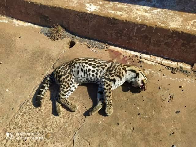 Jaguatirica morre atropelada em rodovia entre Bela Vista e Antônio João