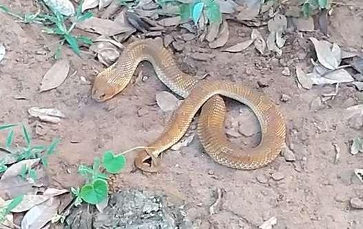 """Em 1 dia, PMA captura jacarés, serpente, tamanduá e gambá """"passeando"""" em casas"""